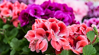 Jak na to, aby pelargonie neboli muškáty bohatě kvetly