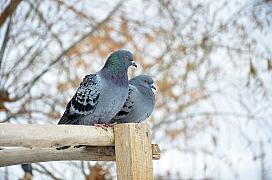 Chov holubů: Jak úspěšně sestavit chovný pár