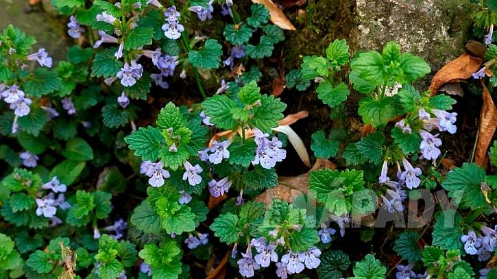 Popenec obecný (Glechoma hederacea): nať i s kvítky se sbírá v době od dubna do června