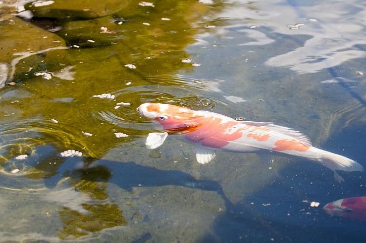 Pokud ryby zazimujeme mimo jezírko, mírně přikrmujeme