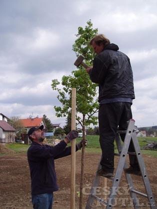 Výsadba stromu s kořenovým balem