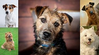 Teriéři: Skupina psů s velkým srdcem a odvahou