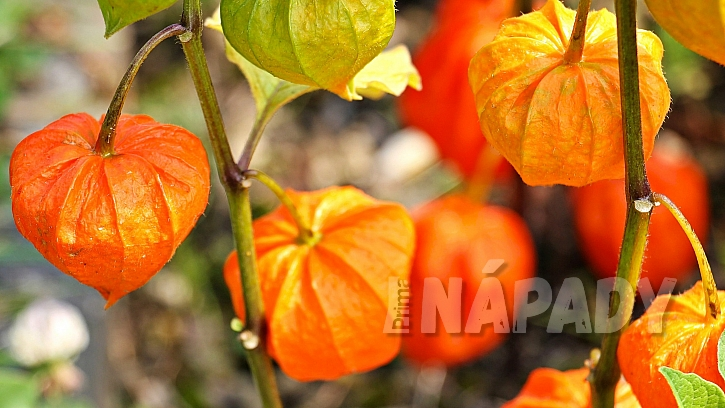 Předpověď počasí a zahrada: květy na sušení - mochyně zahradní (Physalis alkekengi)