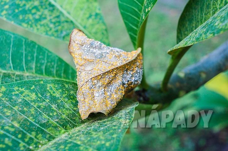 Suché listy napadené plísní