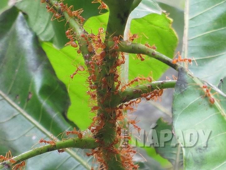 Na invazi mravenců je potřeba se připravovat už předem (Zdroj: NEUDORFF)
