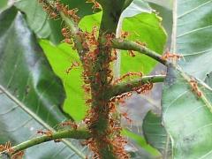 Mravenci v domě či u domu, to je velká starost