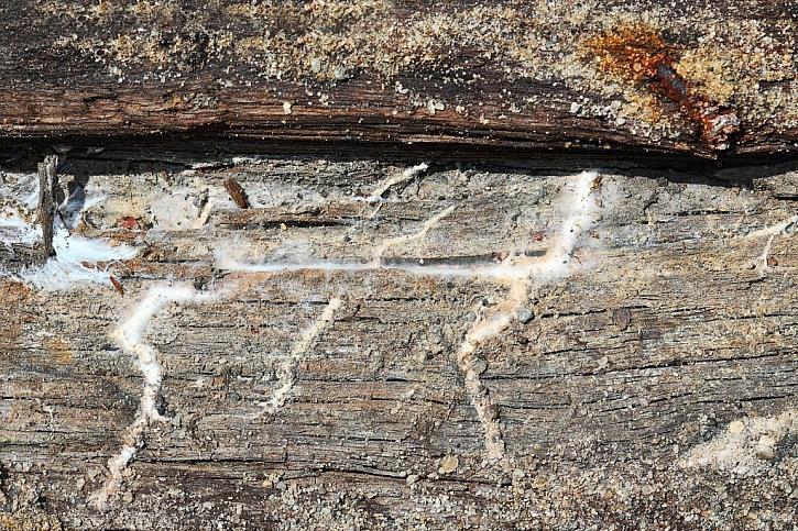 Dřevomorka je nejvážnějším škůdcem a její likvidace je velmi obtížná