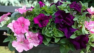 Předpěstujte si petúnie. V létě se vám odmění záplavou květů