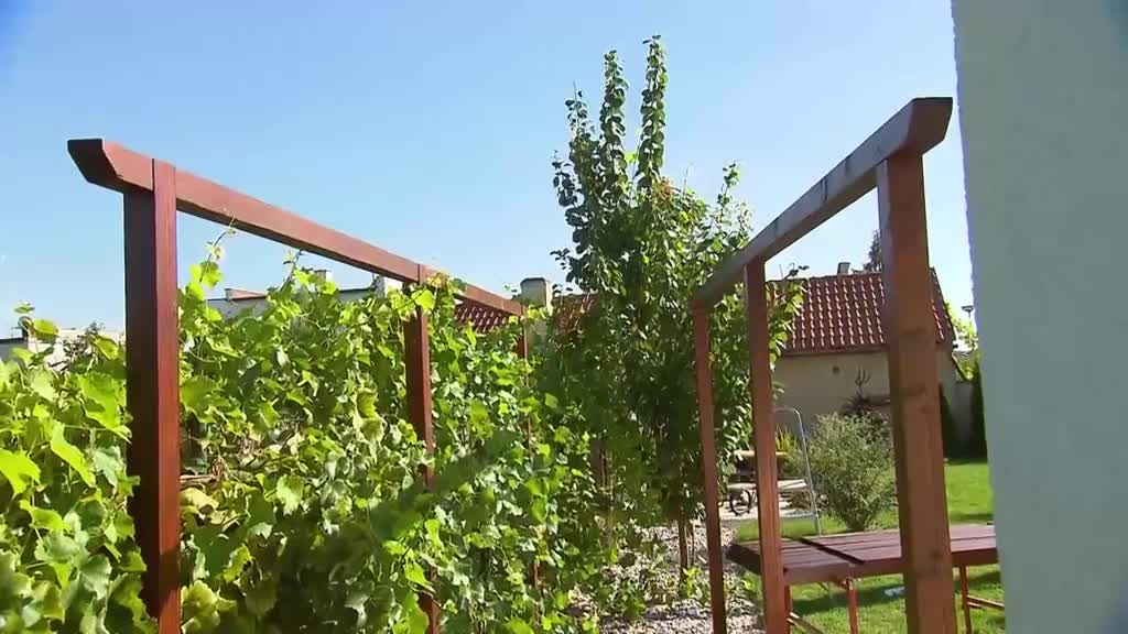 Víno potřebuje péči, tak mu vyrobte pohodlnou pergolu pro růst