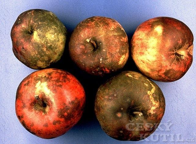 Skládkové choroby jablek