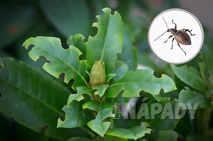 Za okousané listy tučnolistých rostlin může většinou lalokonosec (Zdroj: Depositphotos.com)