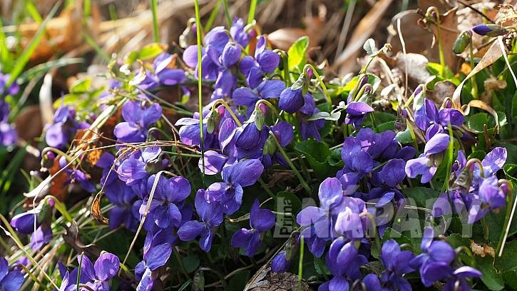 Fialka není jen voňavá, ale i léčivá bylinka k zakousnutí: violka vonná (Viola odorata), u nás známá jako fialka