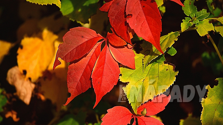 Každá rostlina má rozdílná množství barviv; výsledné zbarvení je výsledek smíchání obsažených barev