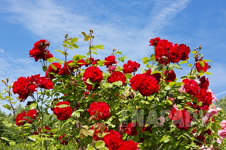 záhon růží