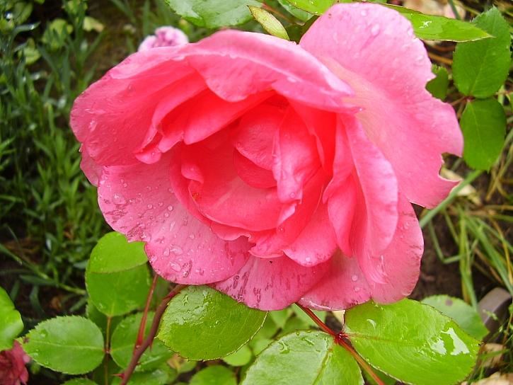 Květ růžové růže