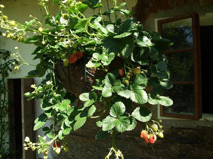 Jahody v květináči Temptation