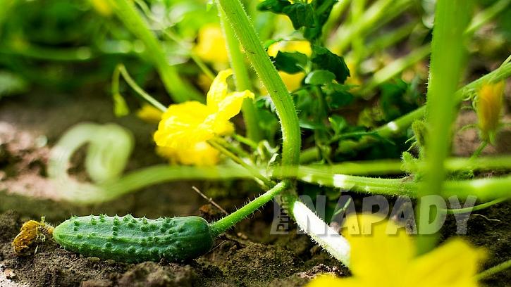 Jak pěstovat okurky:  4