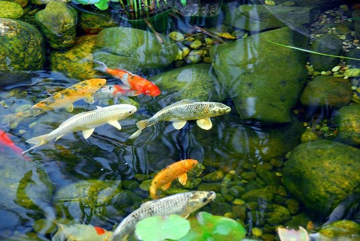 Pokud není jezírko příliš hluboké, ryby vylovte a zazimujte