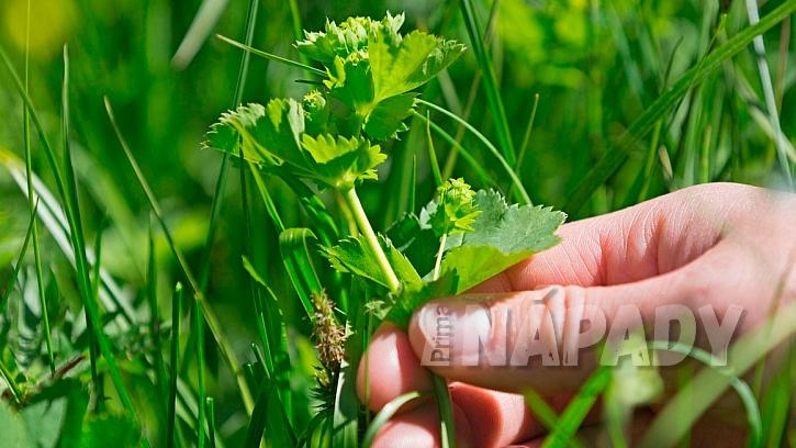 Kontryhel obecný (Alchemilla vulgari):  od května se sbírá kvetoucí olistěná nať
