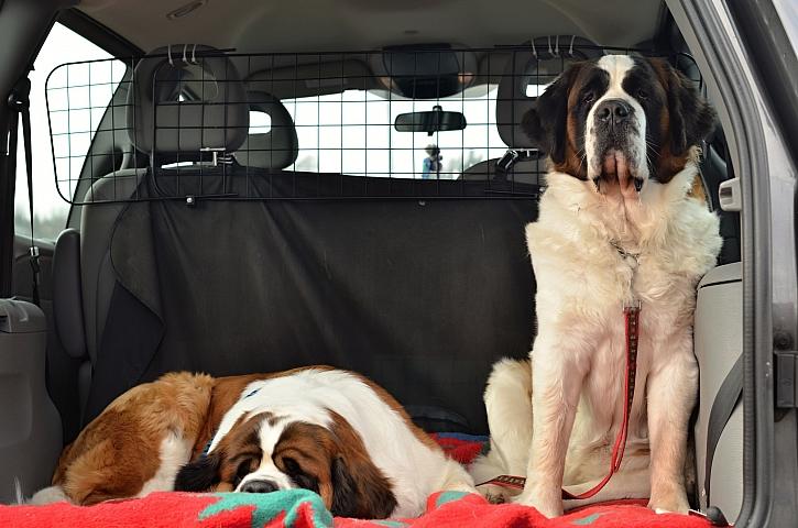 Bernardýni v autě