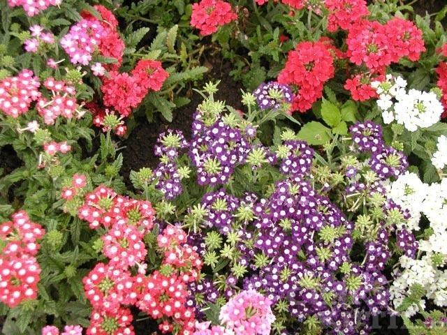 Sporýš zahradní, verbéna