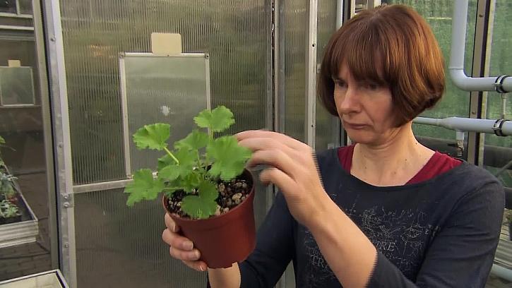 Jak vysévat pelargonie ze semen