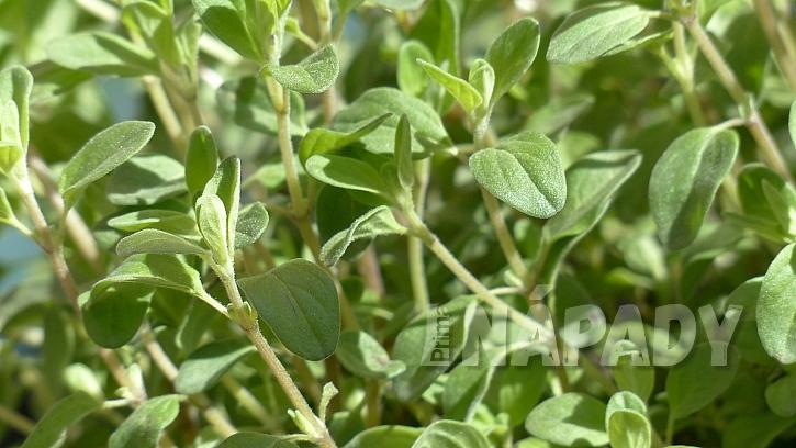 7 druhů koření na podporu hubnutí: majoránka zahradní (Majorana hortensis)