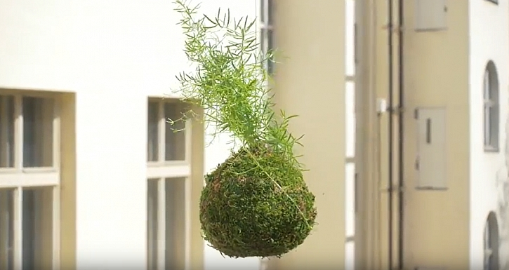 Kokedama z asparágusu: Jak pěstovat oblíbenou rostlinu v mechové kouli