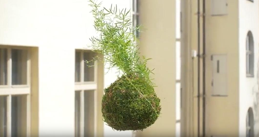 Kokedama z asparágusu: Jak pěstovat oblíbenou rostlinu vmechové kouli