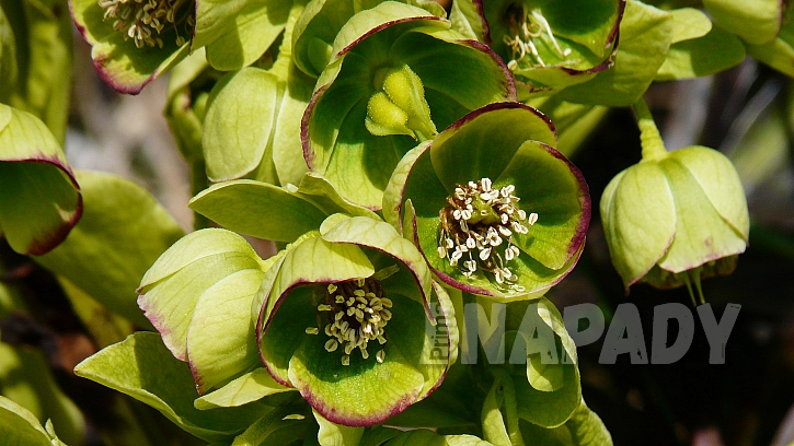 Čemeřice smrdutá (Helleborus foetidus)