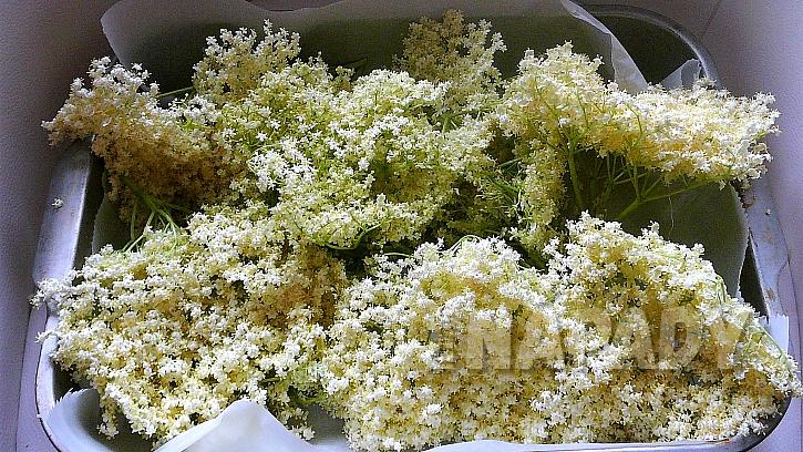 Jak udělat z čerstvých bezových květů sirup, ocet nebo čaj  2
