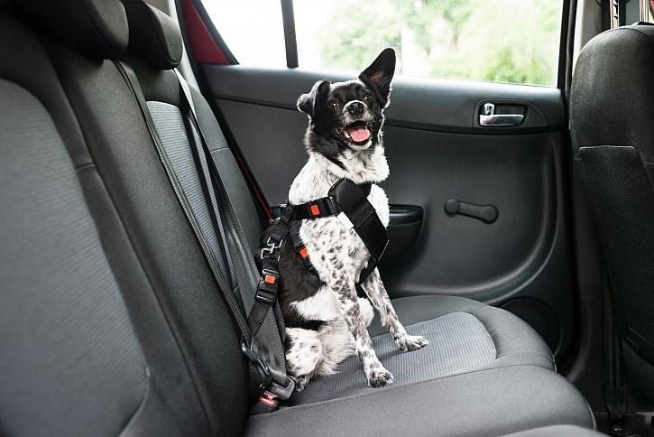Pes na zadní sedačce auta