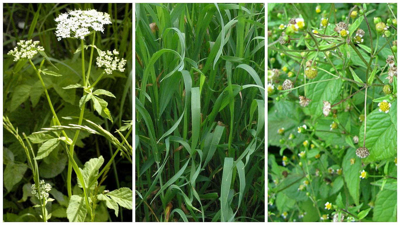 Pro zahrádkáře úporný plevel, pro bylinkáře nedoceněné léčivky: Nenáviděná imilovaná trojka
