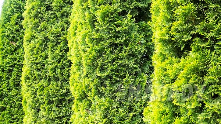 Rostliny vhodné do živého plotu: Zerav (Thuja)