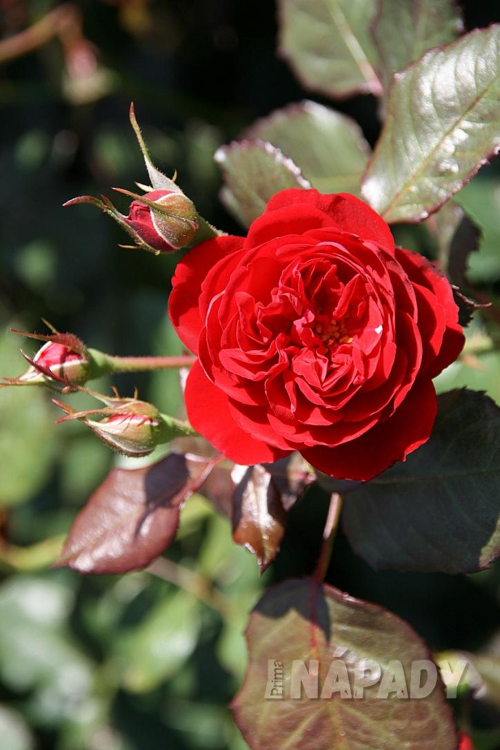 růže kordes