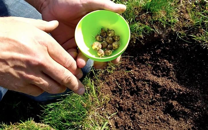 Výsadba cibulovin do trávníku