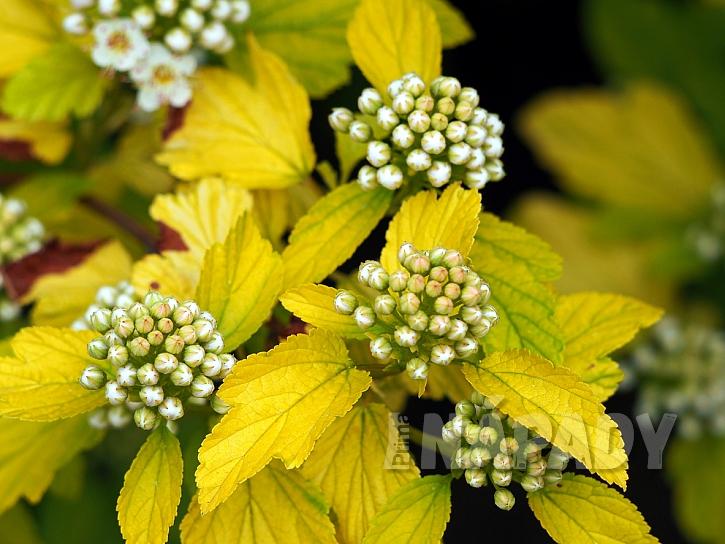 Tavola kalinolistá (Physocarpus opulifolius)