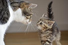 Rady pro hladké soužití dvou koček: Seznamování krůček po krůčku