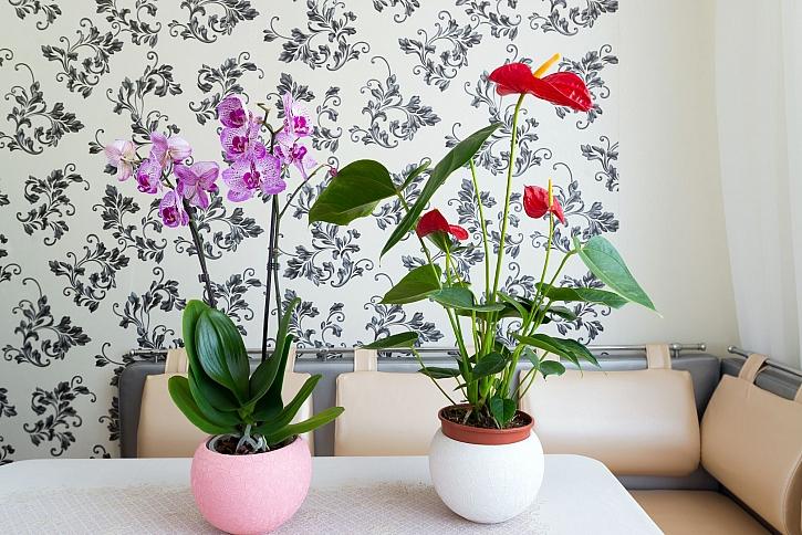 Orchidea a anthurium