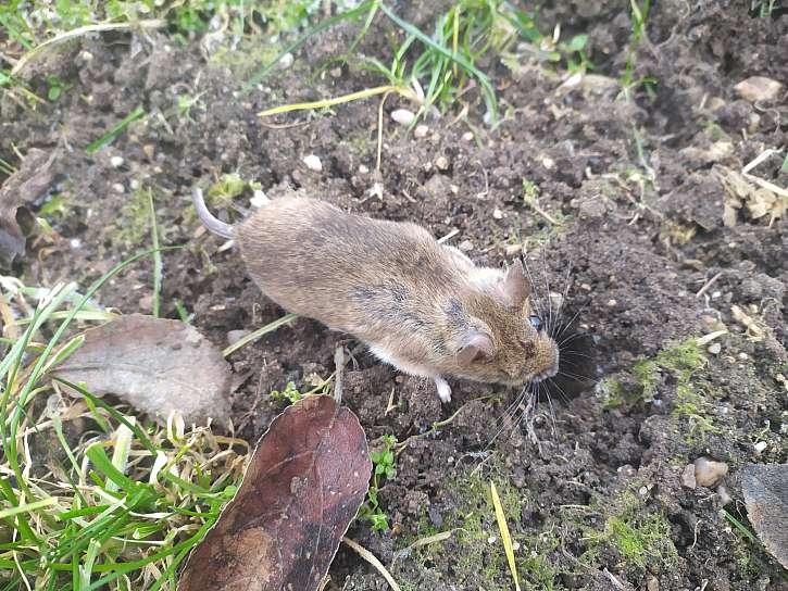 Myši umějí nadělat škody