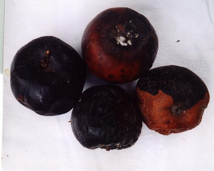 Nešíří se na zdravé plody, ty napadené ihned vyhoďte