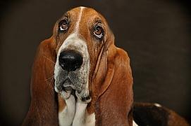 Baset: Veselý pes se smutnýma očima