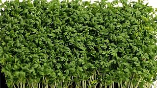 Jak vypěstovat čerstvou zeleninu vlednu? Řeřicha, roketa ipolníček teď rostou jako zvody