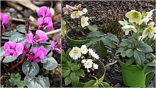 Čemeřice, vilíny abramboříky: Zářivé květy předjaří