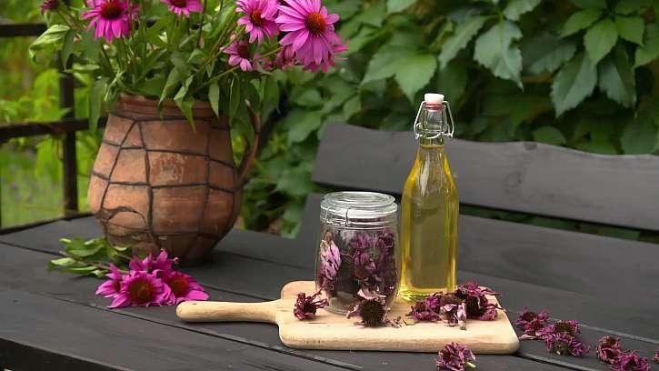 Znáte rostlinu Echinaceu neboli třepatku nachovou?