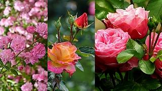 Odzimování růží: Jarní střih královen všech květin není žádná věda