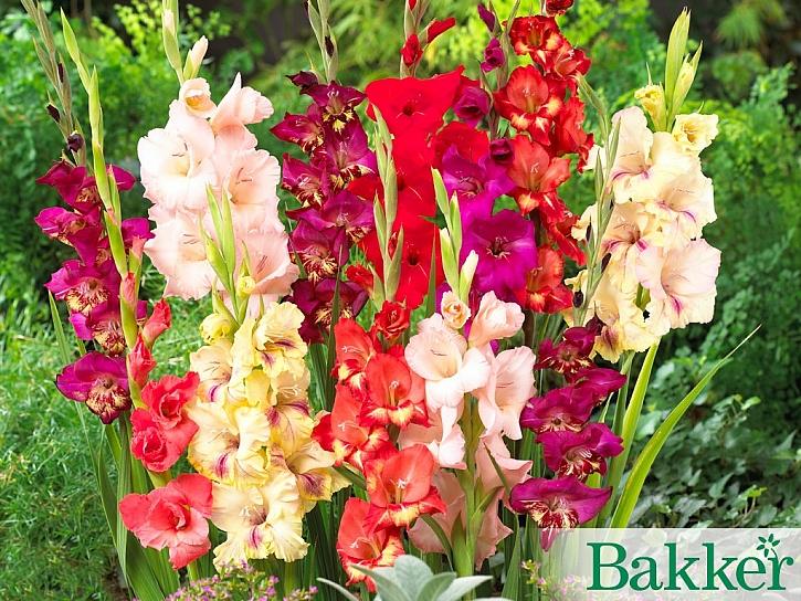 Bakker: Odrůdy mečíků