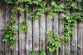 Popínavé rostliny na plot zdobí i chrání