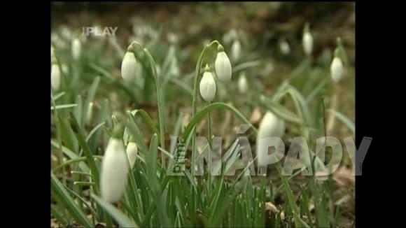 Trvalky kvetoucí v předjaří