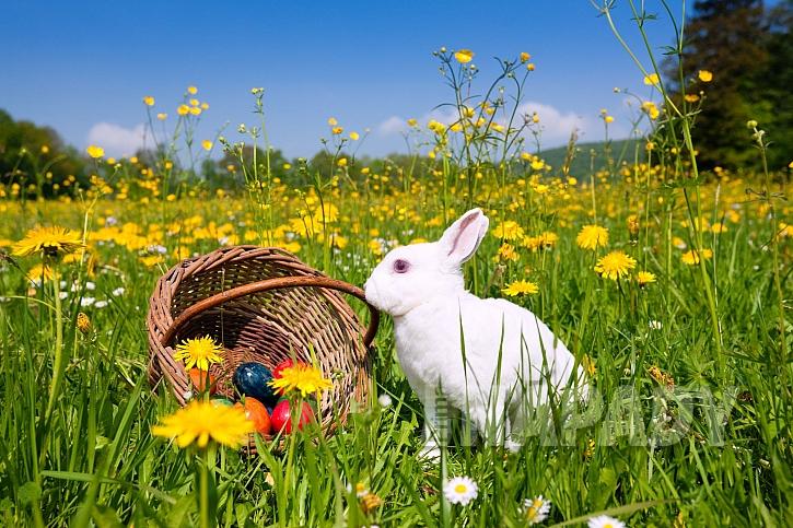 Zajíček nosí čokoládová vajíčka